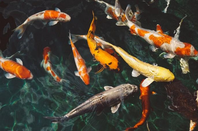 Peluang-Usaha-Ternak-Ikan-Air-Tawar